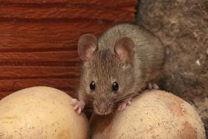 Myš domácí - Deratiz