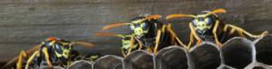 Odstranění vosích a sršních hnízd - Deratiz