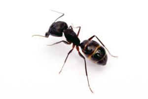 Hubení mravenců - mravenec obecný